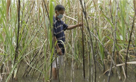 Nhiều diện tích mía ở Hậu Giang có nguy cơ thiệt hại do ngập nước