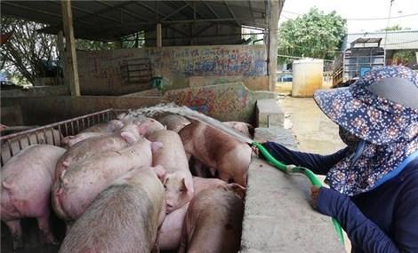 """Giá lợn hơi """"rơi tự do"""" xuống dưới 30.000 đồng/kg, lo thiếu thịt lợn cuối năm"""
